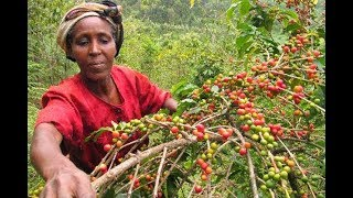 Coffee societies to be audited by the government