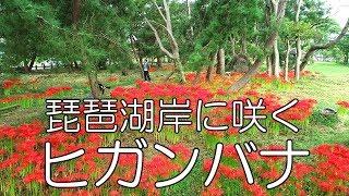 琵琶湖岸に咲くヒガンバナ