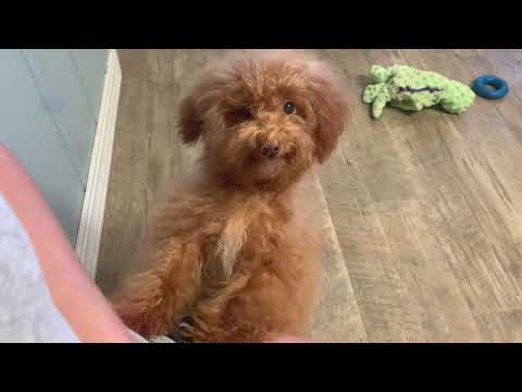 Luke the adorable toy poodle
