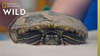 Fixing a Fractured Turtle | Dr. T, Lone Star Vet
