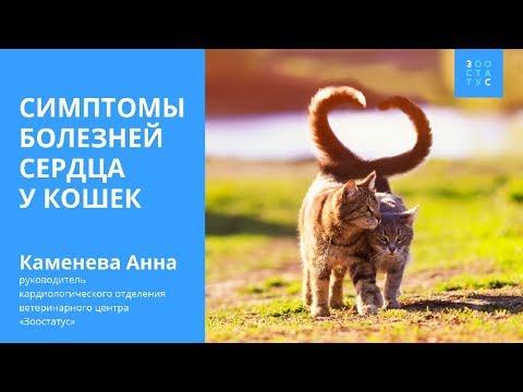 Симптомы болезни сердца у кошек