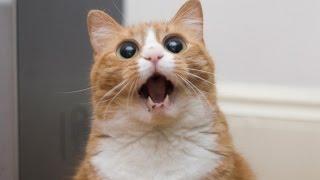 Коты разбойники 18 эп. Кот который не смог. Лучшие приколы декабрь 2016
