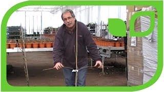 quittenbaum schneiden youtube