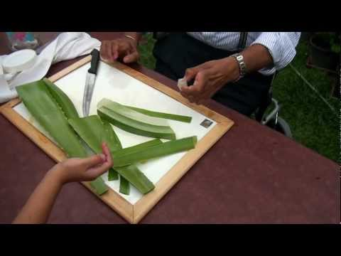 Cutting up aloe vera
