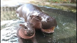 Baby Hippos Swimming - CUTEST Compilation (2021) | Baby Hippo Fiona's Special Moments |