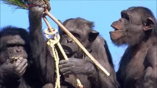 Chimpanzee Cherry's family at Tama Zoo