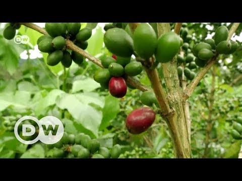 How coffee can help our climate | DW English