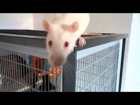 Albino Ratten haben jede Menge Spaß