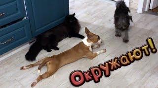 НОВЫЙ ДОМ ДЛЯ МАНИ И ПОХОД ЗА ГРИБАМИ / Реакция мейн Куна на чужих собак