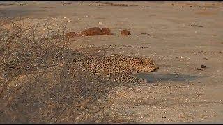 SafariLive Sept 19 - Hosana stalking Impala!