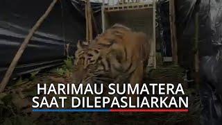 BKSDA Lepasliarkan Harimau Sumatera di Pasaman Barat, Jalani Serangkaian Pemeriksaan Kesehatan
