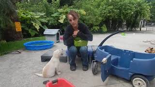 Copy of Labrador Puppies training shaped deliver to hand