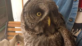 Rehabbed Great Gray Owl Banding