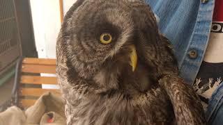 Rehabbed Great Gray Owl Banding