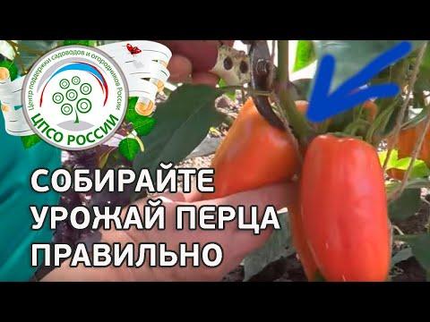 🌶️ Когда и как собирать урожай перца. Выращиваем перец сладкий.