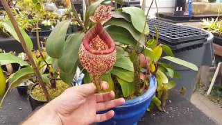 Extreme Nepenthes Pitchers