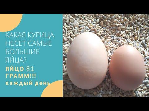 Какая курица несет САМЫЕ БОЛЬШИЕ ЯЙЦА?