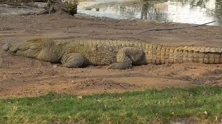 Biggest Crocodile Caught On Video !