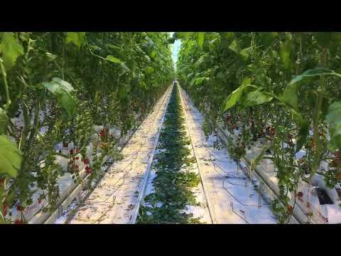Beoordeling van de mini santa Arieco na 11 weken in de kas - HW Seeds BV
