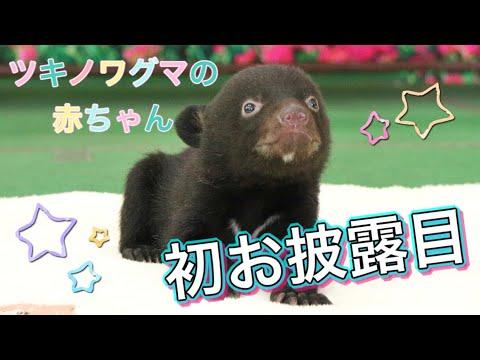 【ツキノワグマの赤ちゃん初お披露目!】