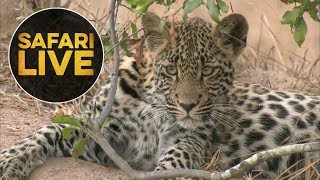 safariLIVE - Sunset Safari - August 3, 2018