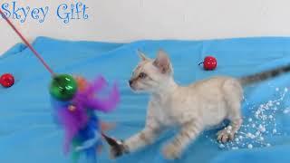 Звездный мальчик.  Бенгальский котенко, бенгальская кошка, продажа бенгал,