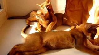 Абиссинские котята из питомника «Элегантная Дикарка»