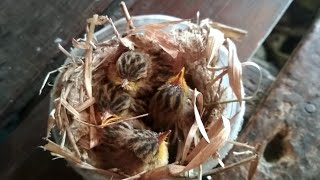 Cici Padi | Meloloh Anak Burung Prenjak Cici Padi | Prenjak Salome