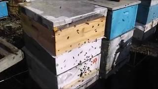 ошибки пчеловода -  формирование весенних отводков - весна на пасеке