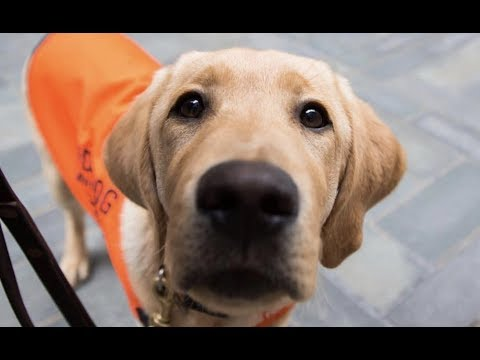 LIVE: Guide Dog Puppy Training in NYC Park – SUNNY   The Dodo LIVE