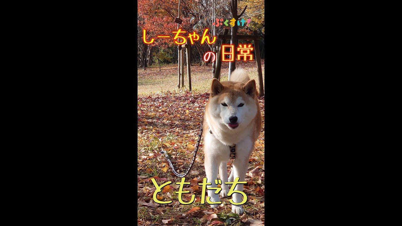 柴犬しーちゃんの日常/ともだち