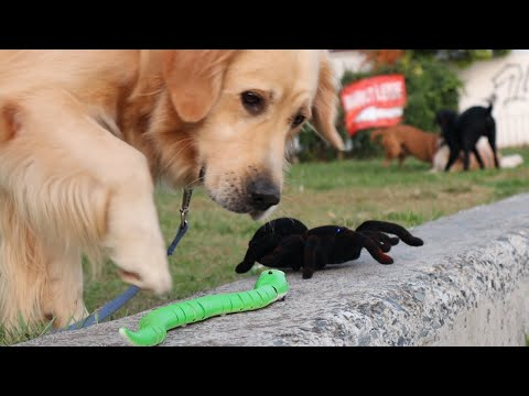 Dogs Reaction to RC Spider and RC Snake
