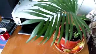 ПАЛЬМА  лечение (желтеют листья ) ЧАСТЬ 2