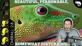 Giant Day Gecko, The Best Pet Lizard?