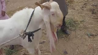 goat market karachi - Video hài mới full hd hay nhất