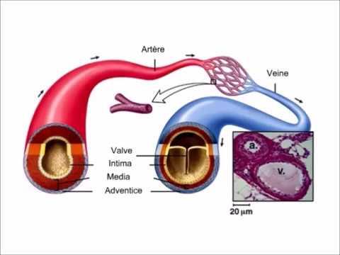 Augmentation de la pression de pouls artériel