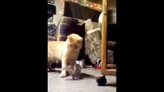 Morris the Squirrel Hunter!