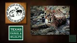 Endangered Wildlife: Ocelots