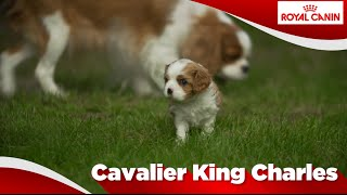 Cavalier King Charles ( Chiot)
