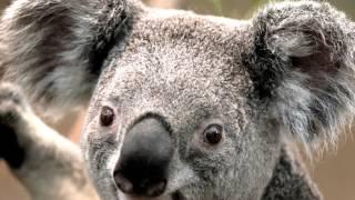 Süßer KOALA (BÄR)