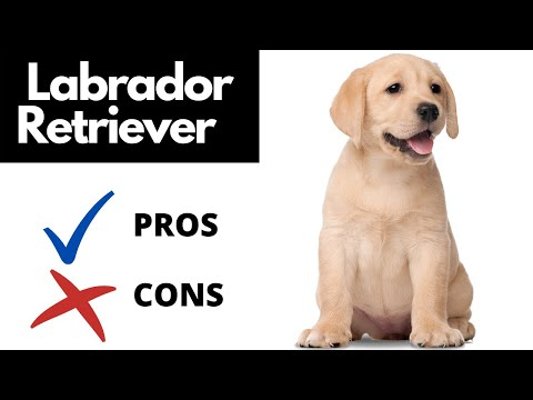 Labrador Retriever Pros And Cons || The Good AND The Bad!!
