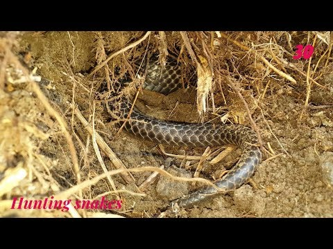 Dig a cave to catch snakes episode 30: New location  Hunting snakes