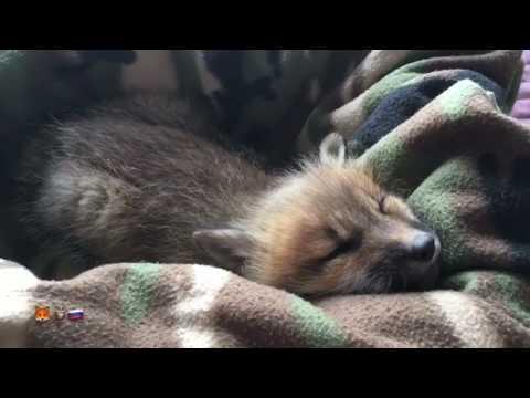 Что снится маленькой лисичке Алисе??)/Alisa dreaming
