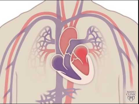 The Heart and Circulatory System - How They Work