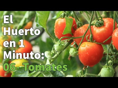 Semillas de  Tomate Cocktail-Tipo Cherry