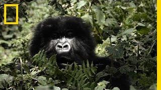 Mountain Gorillas' Survival: Dian Fossey's Legacy Lives On | Short Film Showcase