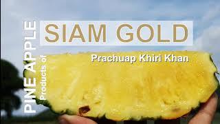 ทางเลือกใหม่ของเกษตรกร ++ สับปะรด SIAM GOLD จังหวัดประจวบคีรีขันธ์