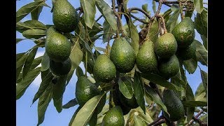 How To Plant Avocado In Pot To Fruit Fast For Beginners