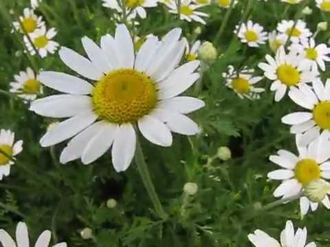Пора цветения. Ромашка аптечная - Matricāria chamomīlla