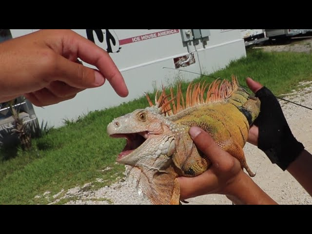 Are Iguanas Dangerous?¿BLOODY